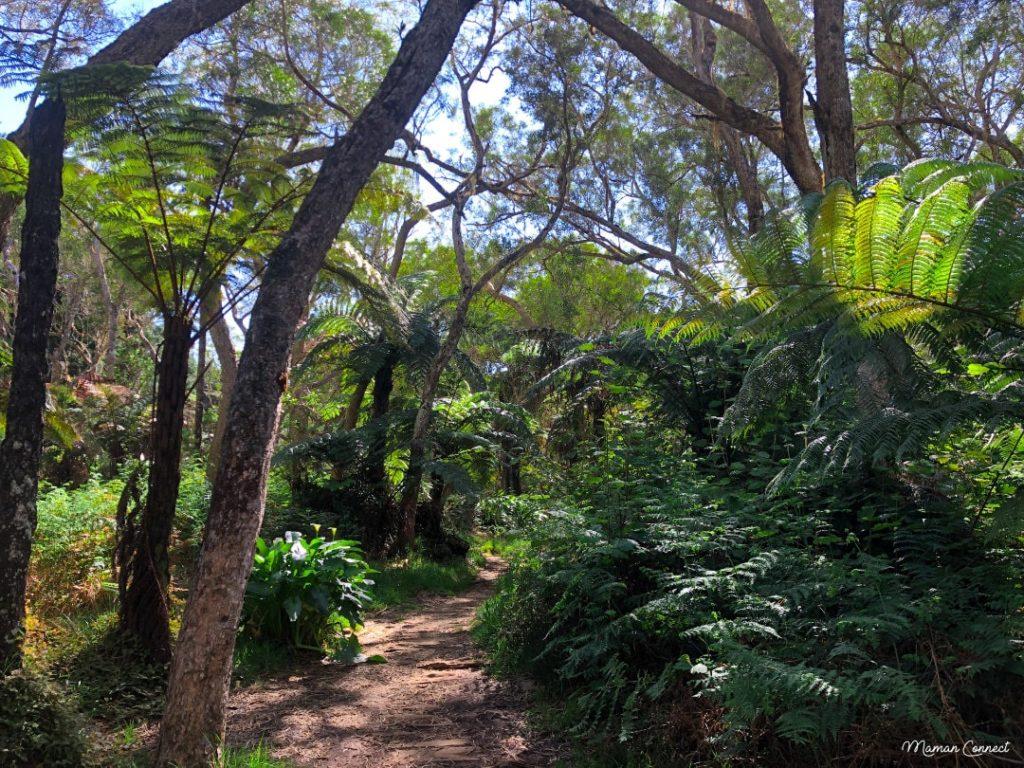 Fougères arborescentes Belouve
